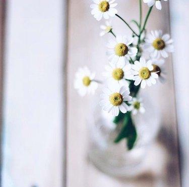 Chamomile flowers (Matricaria recutita)