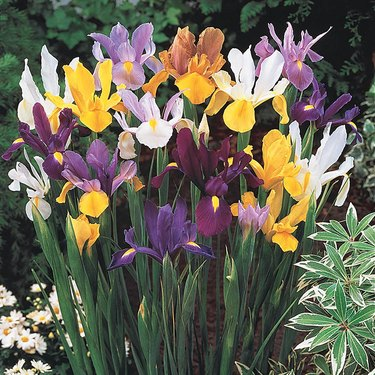 Mix of irises