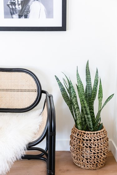Snake plant in basket planter next to black and cane chair