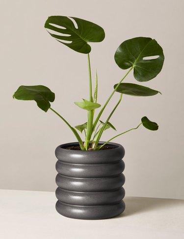 Monstera plant in black modern planter
