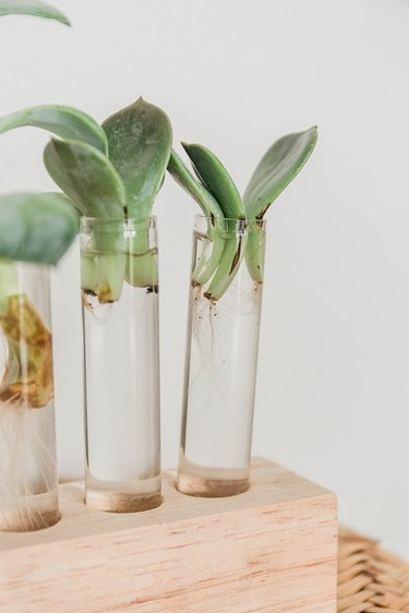 Succulent leaves can be propagated in water on their own.