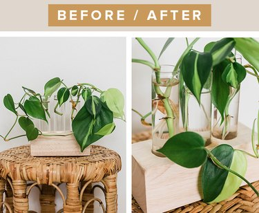 Before and after proof that propagating a Brasil Philodendron is possible.