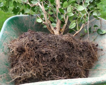 Shrub with attached soil in wheel barrow.