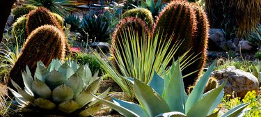 Cactus and agave.