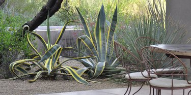 Table and chairs and agaves.