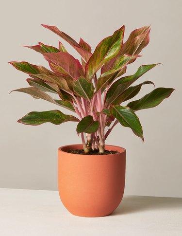 The Sill Red Aglaonema plant