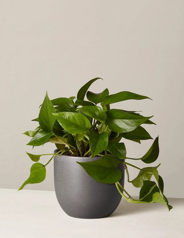 Pothos plant from The Sill