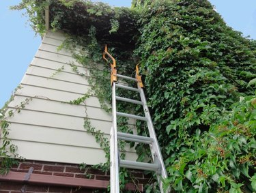Ladder on ivy-covered wall.