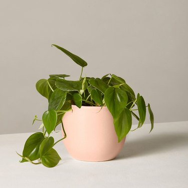 houseplant in pink planter