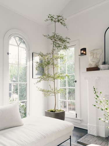 White living room with green tall plant