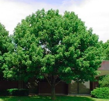White ash tree in summer.