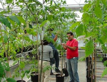 Selective propagation of disease-resistant ash trees.