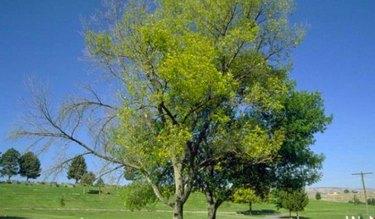 Ash tree dieback.