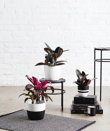 three plants in planters near a rug