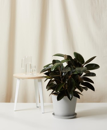 sustainable home decor with potted rubber tree next to a stool