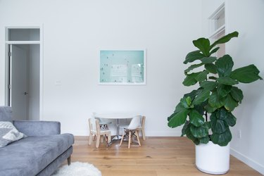 Fiddle-leaf fig tree plant in minimalist living room
