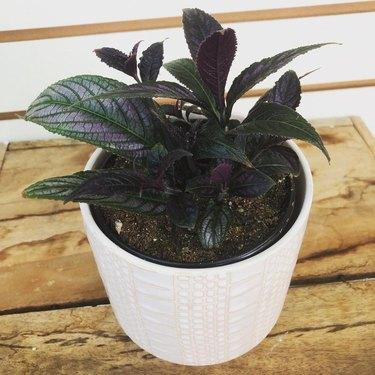 Persian Shield Plant