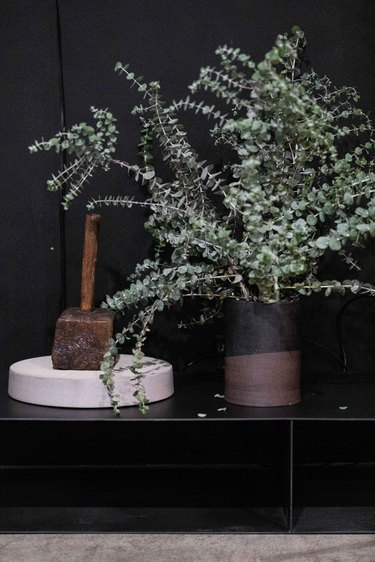 Eucalyptus plant against black wall