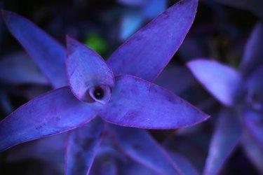 Purple leaves background, Tradescantia pallida or Purple Heart