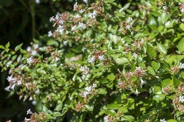 Glossy abelia, Abelia x grandiflora