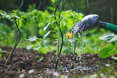 Watering tomatoes seedling in organic garden