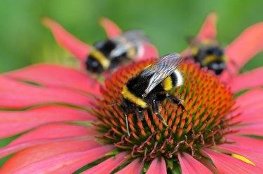 Buff-tailed bumblebees (Bombus terrestris) on Echinacea purpurea (Echinacea purpurea), North Rhine-Westphalia, Germany