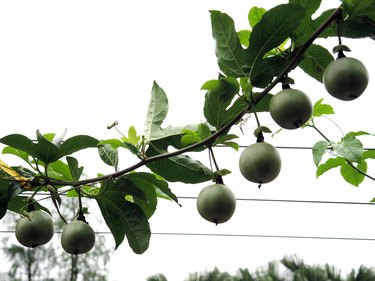 Green Passion Fruit hanging on vine