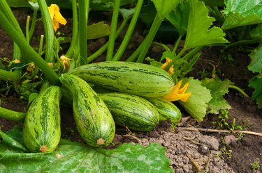 flowering marrow with fruits