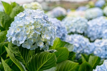 Close-up of hydrangeas with hundreds of flowers blooming all the hills