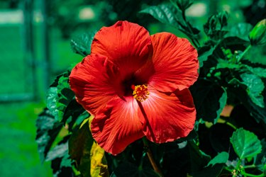 A Picture Of A Red Hibiscus