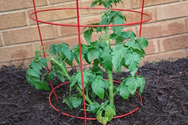 Tomato Plant in a Cage in a Home Vegetable Garden