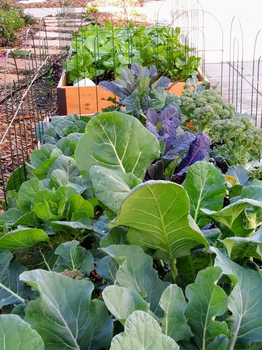 Kale - vegetable bed - Healthy living