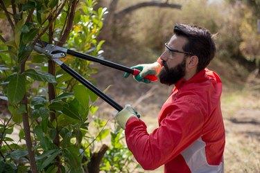 Male gardener is trimming shrubs