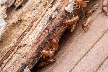 Termites eating rotted wood