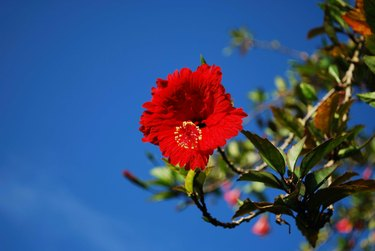Close-Up Of Red Hibiscus Flower Against Blue Sky