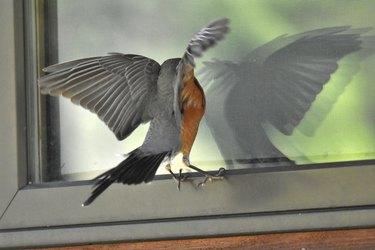 Mad Robin