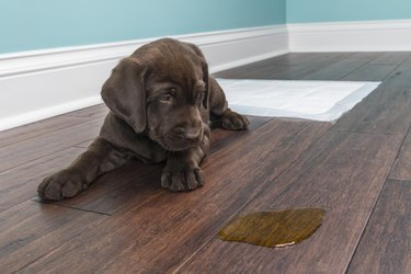 A Chocolate Labrador puppy looking at the pee on wood floor - 8 weeks old