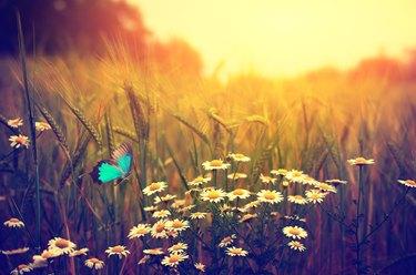 Butterfly flying spring meadow daisy flowers