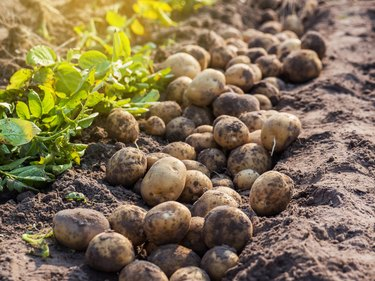 potatoes in the farm.