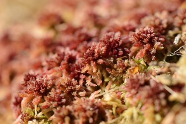 Close-up of Sphagnum Moss (Sphagnum rubellum) in Swamp in Early Spring, Upper Palatinate, Bavaria, Germany