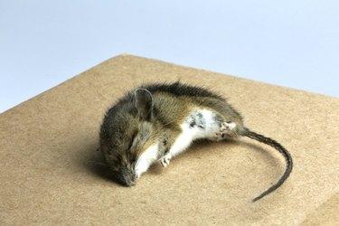 Dead Mouse (Mus musculus)