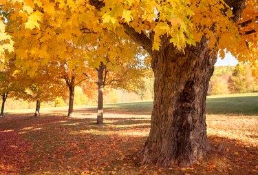 Sugar maple trees in Fall