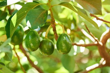 Group of avocados hang on tree