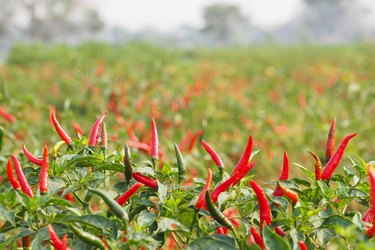 Chillies grow in farm