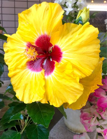 Big hibiscus flower, yellow and red.