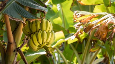 Bananas on Plant