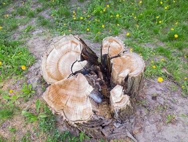 Large Tree stump.