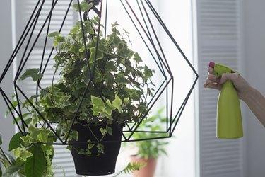 Womans hand spraying ivy hanging basket in kitchen