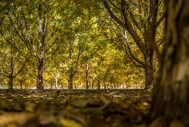 Colorful Autumn Pecan Trees with leaves on the ground
