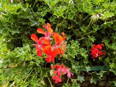 Red Geraniums in the garden.